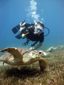 Diver and friendly male Hawksbill turtle over seagrass