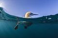 South Africa Gannet