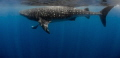International Whale Shark Day - unforgettably beautiful giants - let the knowledge flow.
