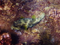 Porcupine Fish  Maui.