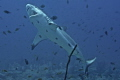 Grey Reef Shark in Cleaning Station...