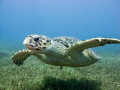 Male hawksbill turtle swimming over seagrass