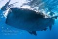 Whaleshark Encounter  Isla Contoy Mexico