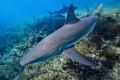 Reef shark close pass