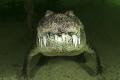 Crocodylus acutus_8