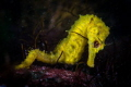 Blind Yellow Seahorses