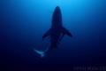 Oceanic blacktip, Aliwal shoal, South Africa
