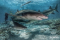 Lemon shark love at Tiger Beach Bahamas