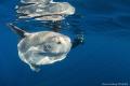 Nice and friendly Mola Mola off the Coast of California near Catalina Island