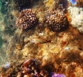 Maui, cute brown fish and pretty coral...