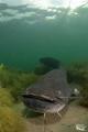 Welscatfish :-D