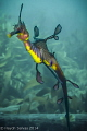 Wanted to get a near to front on shot of a Weedy Sea Dragon. After about thirty minutes I managed to get this. The position of the lights hit at just the right angle to highlight the beautiful colours of the body.