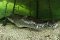 Crocodylus acutus_9