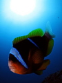 Clowning around with a vicious clarks anemone fish and being bit by it 5 times whilst taking this shot