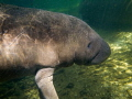 Baby manatee hanging out in the spring run during winter.