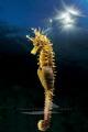 [:b:]Yellow seahorse[:/b:]