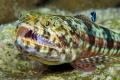 Lizard fish   cleaner