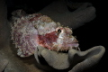 Scorpionfish on a leathercoral