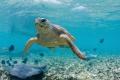 Turtle whit manta