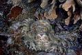 Octopus Utila