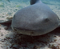 Nurse Shark   Key Largo