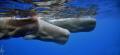 Sperm whales. Taken as always  under permit.