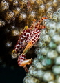 little crab in coral  Seraya  Indonesia