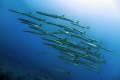 Yellowfin Barracudas in the strong current of