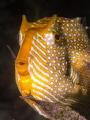 Flinders pier, Shaw's Cowfish Aracana aurita