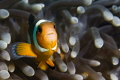 False Clown fish in anemone, Bida Nok