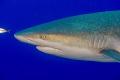Shark with an interesting skin texture.