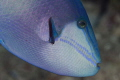 Redtooth triggerfish, Hin Daeng