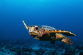 Curious hawksbill turtle