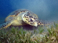 Male Hawksbill turtle looking for some food inside a car tire