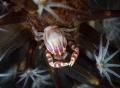 Porcelain crab Lembeh straith Nikon D800E, 105 macro Nikon, two strobo