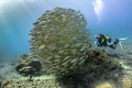 Diver with schooling roncadores, Alcala, Tenerife