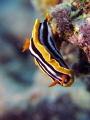 Chromodoris quadricolor nudibranch