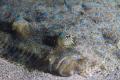 Lenguado close up, Isla del Coco