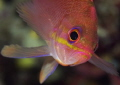 The Anthias  amazing little fish  flutting as a fairy in the Mediterranean water.