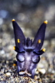 Batman nudibranch