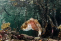 cuttlefish in mangroves