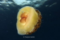 egg jellyfish