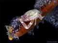 Crab with EGGS (Lissoporcellana)
