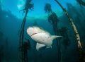 7 gill shark in the kelp forest
