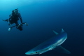 Unexpected model. Photographing blue sharks off south africa