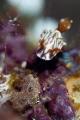 Zephyr Hypselodoris