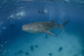 B I G   O N E  Whale Shark  Rhincodon typus  Oslob  Cebu. Philippines 2014