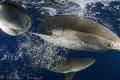 3 Carcharhinus falciformis