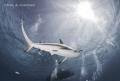 Reef Shark overhead