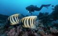 6 barred Angel Fish couple
